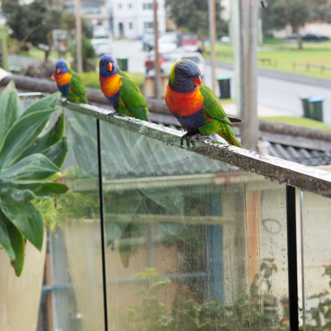 Lorikeets on the balcony